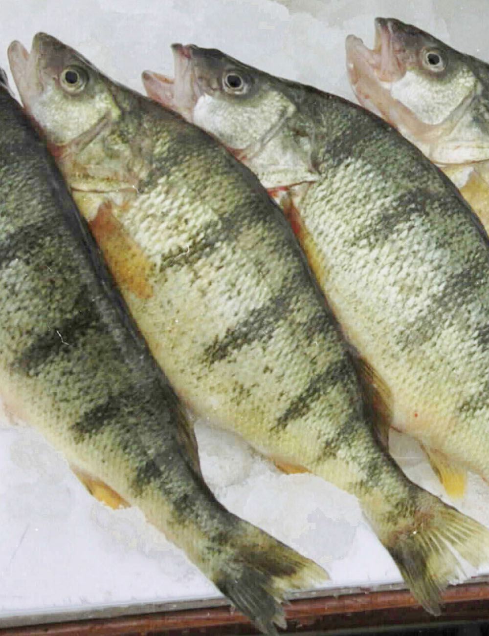 Lack of Lake Erie yellow perch a disappointment