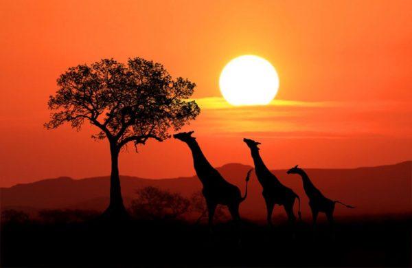 Image of three giraffes