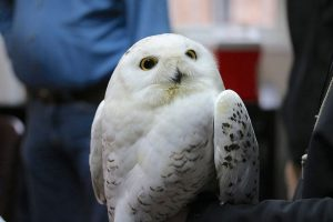 Image of Snowy Owl