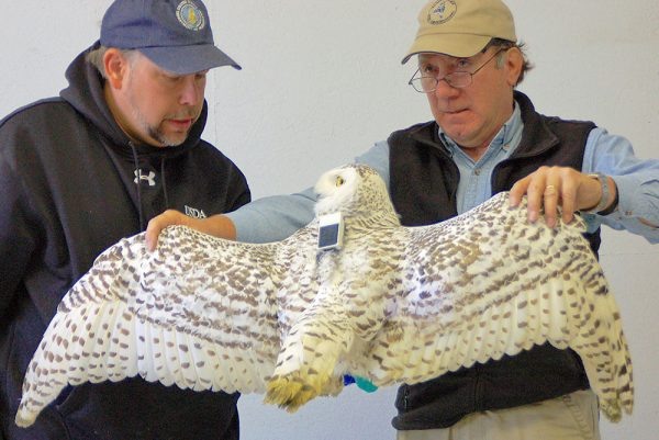 Image or Mark Shieldcastle and Ryan Jacob with Wolverine, a Snowy Owl