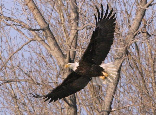 Image of a bald eagle flying