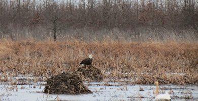 Image of bald eagle at Ottawa National Wildlife Refuge