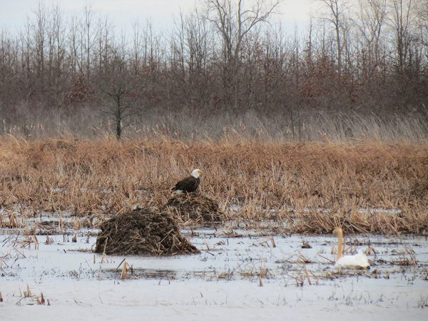Image of bald eagle at Ottawa National Wildlife Refuge