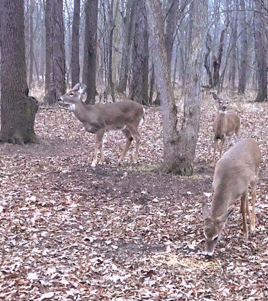 Image of multiple deer in East Harbor State Park
