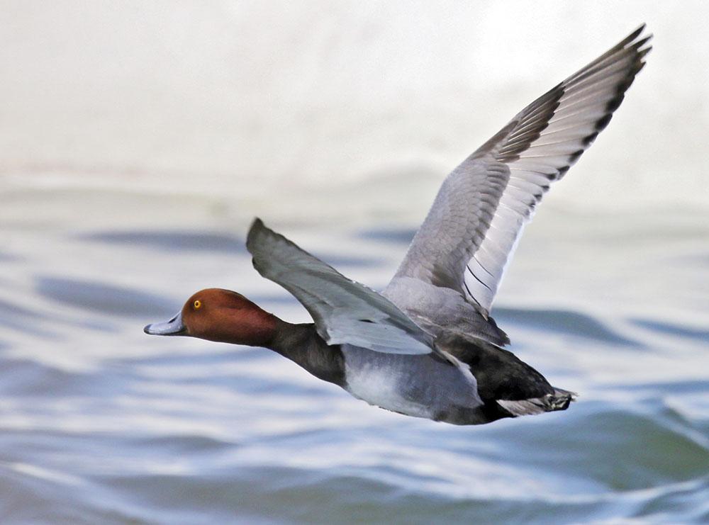 Birders enjoy a bonanza of waterfowl at East Harbor
