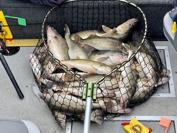 Net full of walleye