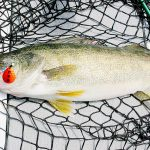Lake Erie's walleye have done it again! Another tremendous hatch documented by ODOW biologists
