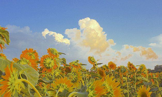 Sunflowers sparkling in Genoa fields