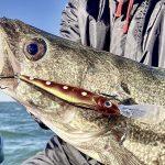 Limits of Lake Erie walleye, yellow perch return