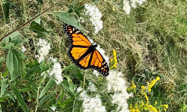 Plant milkweed this fall to attract Monarch butterflies next summer