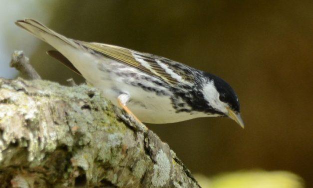 Colorful warblers drive The Biggest Week in Birding