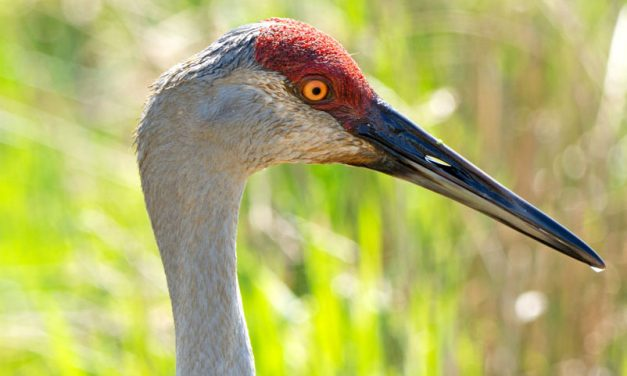 Sandhills cranes nesting in Ohio after long absence