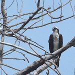Osprey visits East Harbor