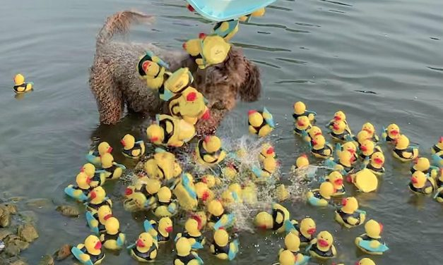 Little 'quackers' star in United Way's Incredible Duck Race