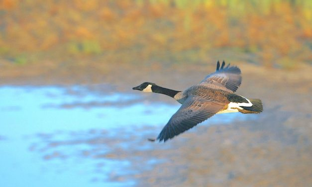 Early Canada goose hunting begins Sept. 4 with 5-bird bag limit