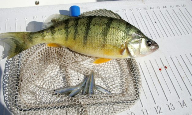 Fishermen's Wharf leads the yellow perch parade